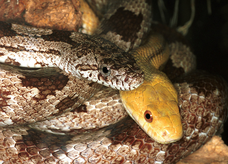 Yellow and everglade rat snakes, Elaphe obsoleta quadrivitta (yellow), E.o. rossalleni