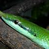 Vietnamese Long-nosed Snake, Rhynchophis boulengeri