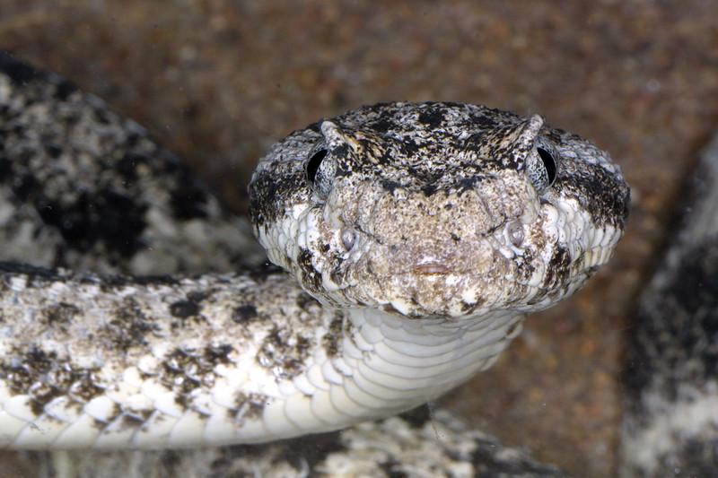Speckled rattlesnake, Crotalus mitchelii