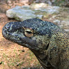 Komodo dragon, Varanus komodoensis