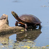 Midland Painted Turtle, Chrysemys picta marginata)