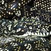 Diamond python,   Morelia spilota spilota