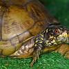 Box Turtle, Terrapene carolina