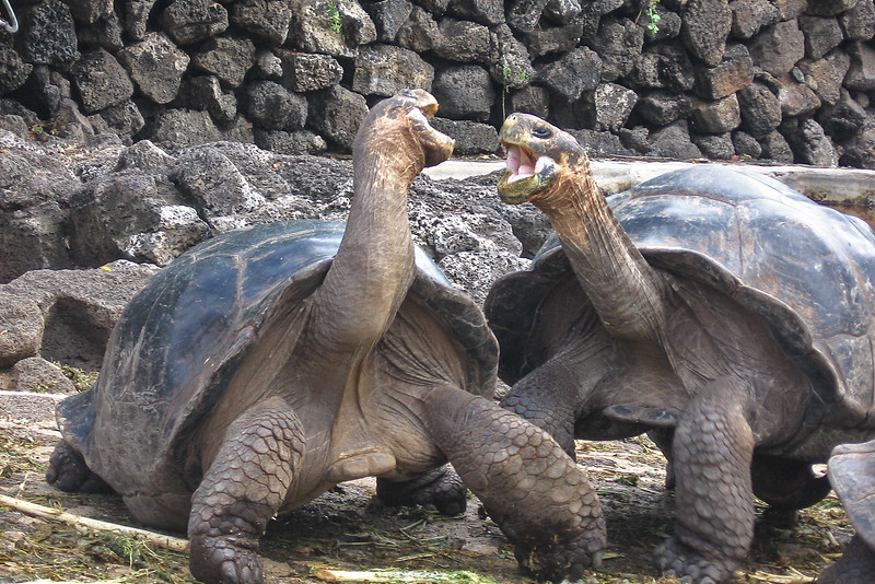 giant Galapagos Tortoises, Geochelone elephantophus, Captive on Santa Cruz