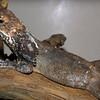 Frilled lizard, Chlamydosaurus kingii