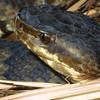 Western Cottonmouth, Agkistrodon piscivorous leucostoma