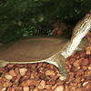 Spiny softshell turtle, Trionyx spiniferus