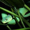 Wagler's Pit Viper, Trimeresurus wagleri