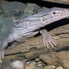 Desert Monitor, Varanus griseus