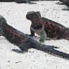 Marine Iguana, Amblyrhynchus cristatus