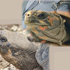 giant Galapagos Tortoises, Geochelone elephantophus, Captive on Santa Cruz