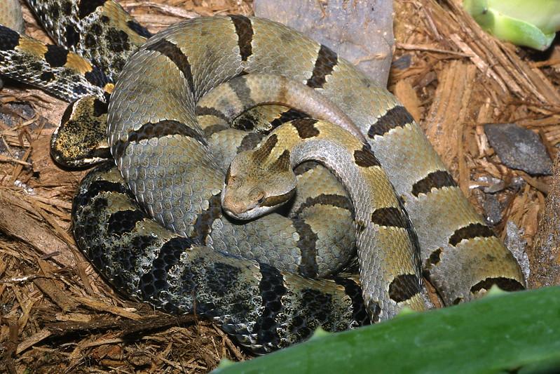 Tamaulipan Rock Rattlesnake, Crotalus lepidus morulus