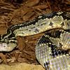 Totonacan Rattlesnake, Crotalus durissus totonacus
