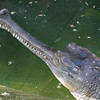 Gharial, Indian crocodilian, Gavialis gangeticus