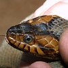 Water Snake, Natrix sp.