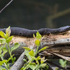 Common watersnake, Nerodia sp.