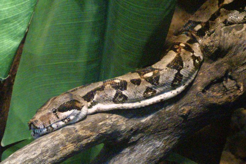 Common Boa Constrictor, Boa constrictor