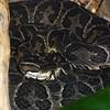 Urutu snake, Bothrops alternatus