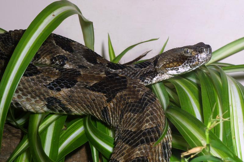 Timber Rattlesnake, Crotalus horridus
