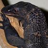 Rough Necked Monitor, Varanus ruticollis