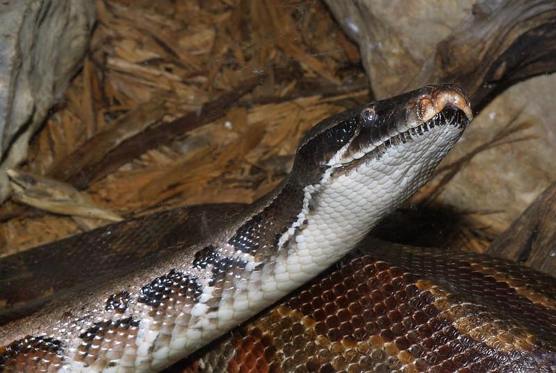 Blood Python,   Python curtus brongersmai