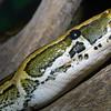 African Rock Python, Python sebae
