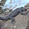 Marine Iguana, Genovesa Island, Amblyrhynchus nanus