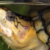 Yellow Mud Turtle, Kinosternon flavescens