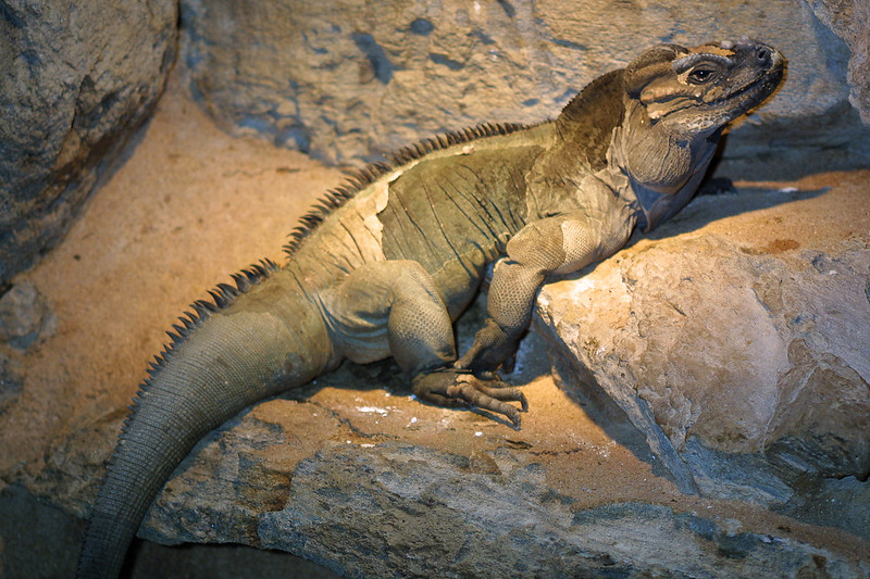 Rhinoceros Iguana, Cyclura cornuta