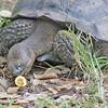 Giant Galapagos Tortoises, Santa Cruz, Geochelone nigrita