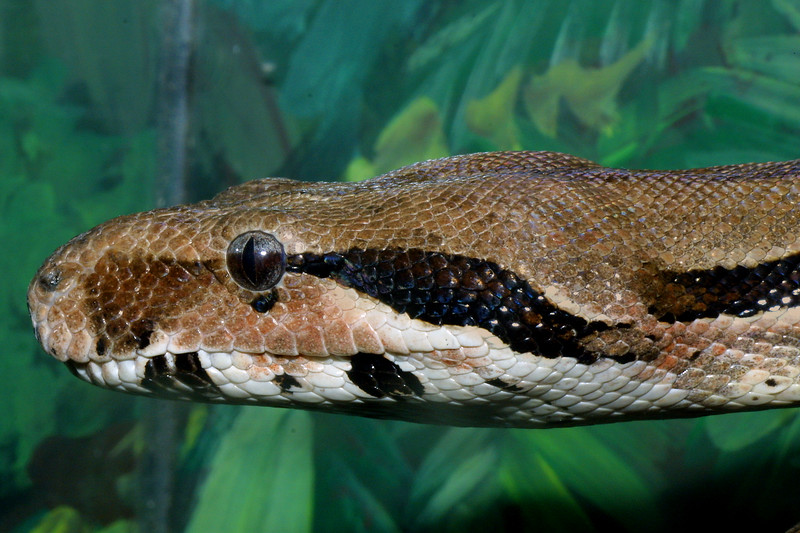 Red-tailed Boa Constrictor, Boa constrictor