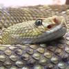 Mexican Westcoast Rattlesnake, Crotalus basiliscus basiliscus