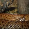 Southern Ridge-nosed rattlesnake, Crotalus willardi meridianalis
