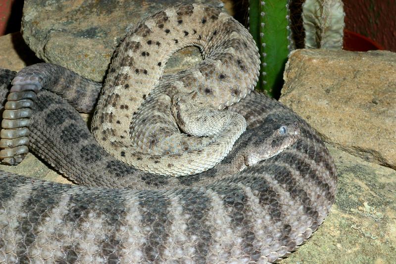 Sidewinder Rattlesnake, Tiger Rattlesnake (larger), Crotalus cerastes, Crotalus tigris