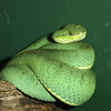 Two-struiped Forest Pit Viper, Bothriopsis bilineata