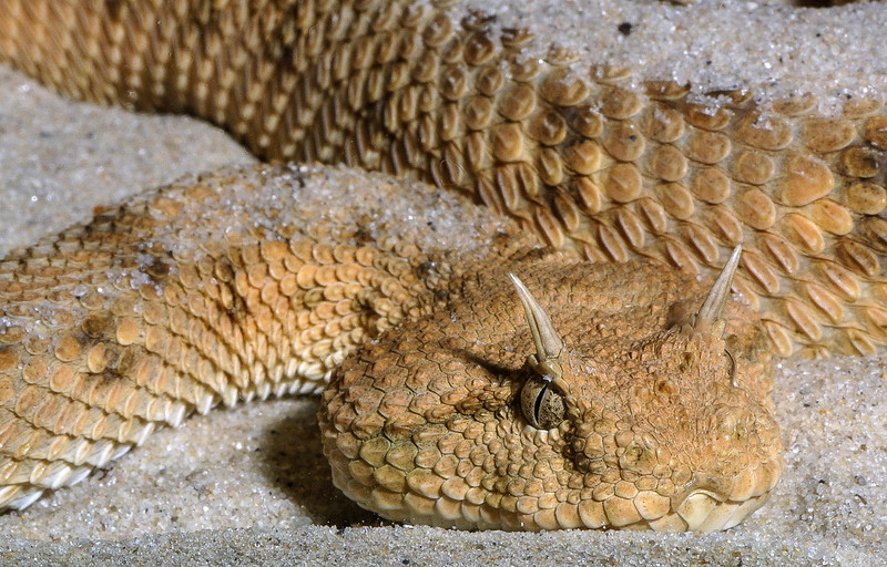Sahara Horned Viper, Cerastes cerastes