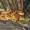 Lowland bush viper, Atheris squamiger