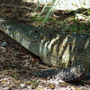 Crocodile, Crocodylus sp.