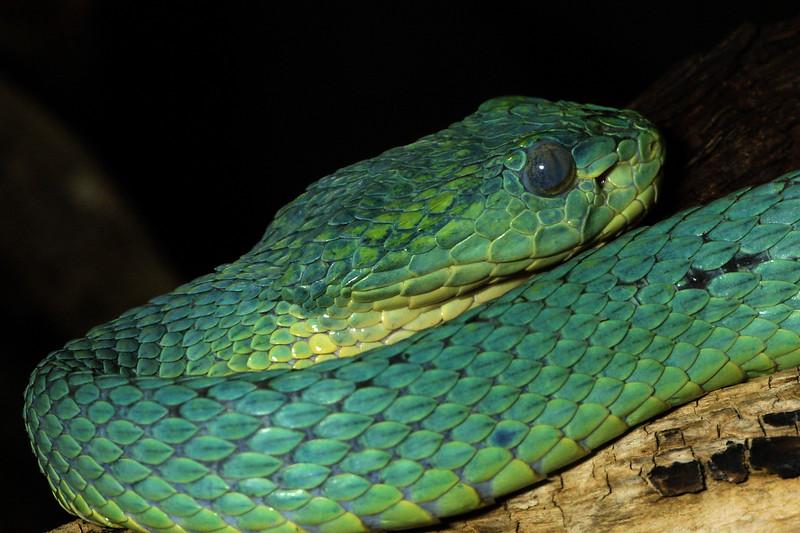 Hounduran Palm-Pit Viper, Bothriechis marchi