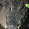 Dwarf Crocodile,   Osteolaemus tetraspis