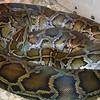 Burmese python, Python molurus bivittatus