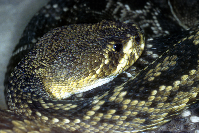 Eastern DiamondbackCrotalus adamanteus