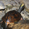 Three-striped Box Turtle, or Golden Coin Turle, Cuora trifasciata