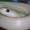 Leucistic Texas Rat Snake, Elaphe obsoleta lindhiemery