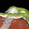 Green anole, Anolis carolinensis