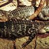 Alligator, Alligator mississippiensis