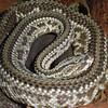 Tropical rattlesnake, Crotalus durrissus terribucus