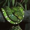 Emerald tree boa, Corallus caninus