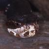 Florida cottonmouth, Agkistrodon piscivorus conanti