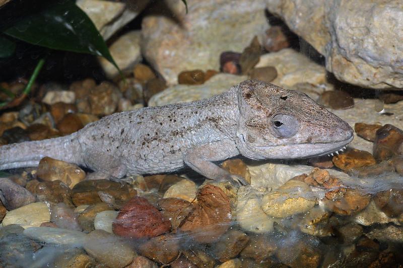 Cuban False Chameleon,   Chamaeleolis chameleonides